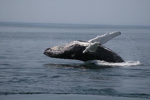 Conservationists Hope That iOS Devices Can Help Save The Whales